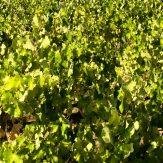 Thrakien: lokale Rebsorten für fruchtig-leichte Weine