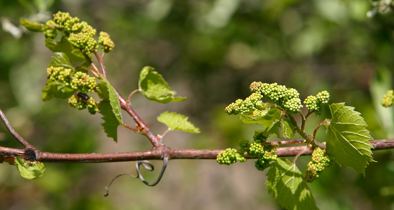 Frühjahr im Weinberg