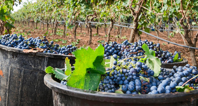 Weinregion Apulien