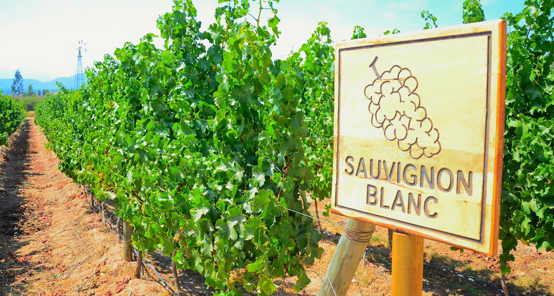 Sauvignoon Blanc - Weine für Einsteiger