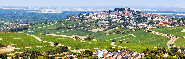 Rebsorte Sauvignon Blanc