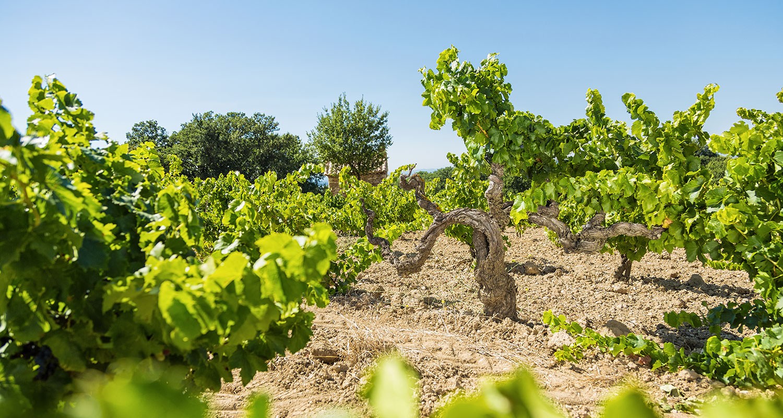 Weinrebe im Weinberg