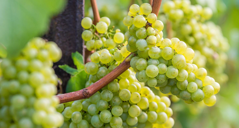 Silvaner Trauben an der Rebe. Perfekter Wein um in die Weißwein-Saison zu starten
