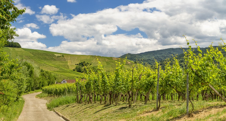 Weinberge in Baden