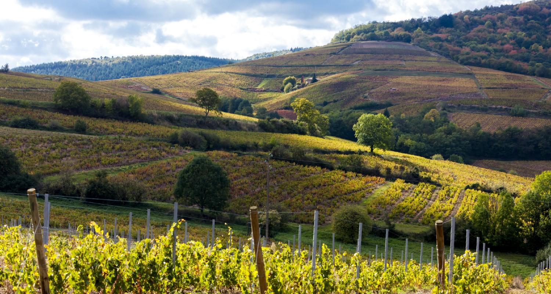 Weinreben im Burgund