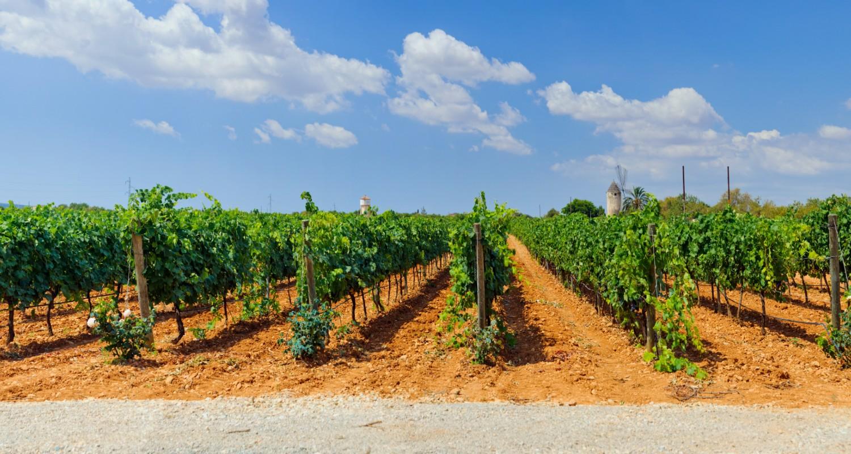 Mallorca Weinreben